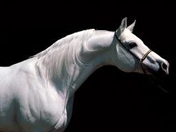 cavallona3