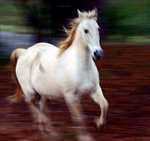cavallona4
